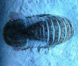 Deepwater Isopod - Natatolana borealis