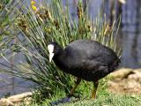 Common Coot. - Fulica atra - Blishøne
