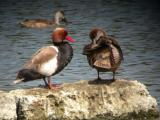 Red Crested Pochard - Netta rufina - Rødhovedet And