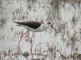 Black-winged Stilt - Himantopus himantopus - Stylteløber