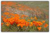 Poppy Reserve 2005