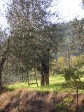 Old man picking olives on the roadside