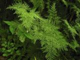 ferns in the forest, Shoja