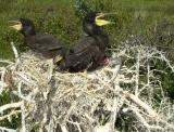 Ringed chicks