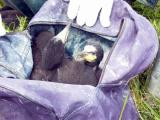 Two chicks in a transport bag