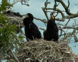 Great Cormorant chicks in a nest