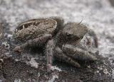 Jumping spider (view 1)