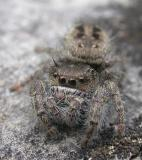 Jumping spider (view 2)
