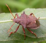Predatory stink bug -- male --  possibly Picromerus bidens (Linnaeus)?