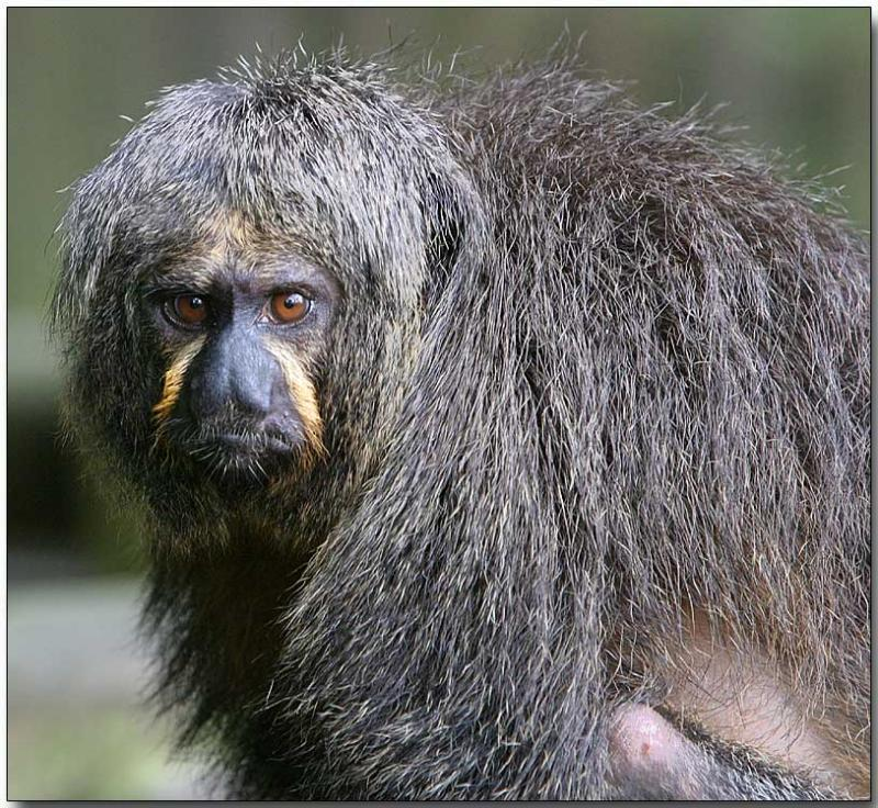 White-faced Saki, female