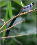 Pin-tailed Whydah - male with breeding plummage