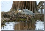 Blue Heron with Fish Head