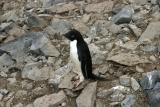 Adelie Penguin 0195
