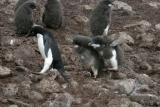 Adelie Penguin Chase 0233
