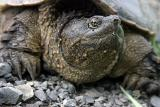 A snapper turtle story or 'How I rescued a turtle without losing a finger'