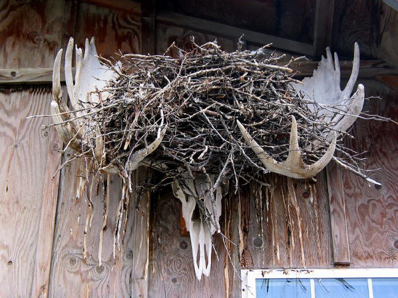 Antlers nest