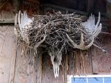 Antlers' nest
