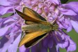 Adopaea (Thymelicus) sylvestris Geelsprietdikkopje