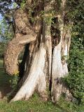 040727 Old  Tree