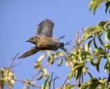 bluebird juvy in flight.jpg