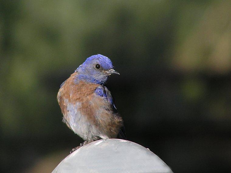 western blue male.jpg