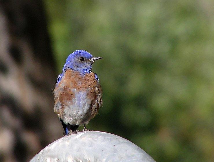 western blue male 2.jpg
