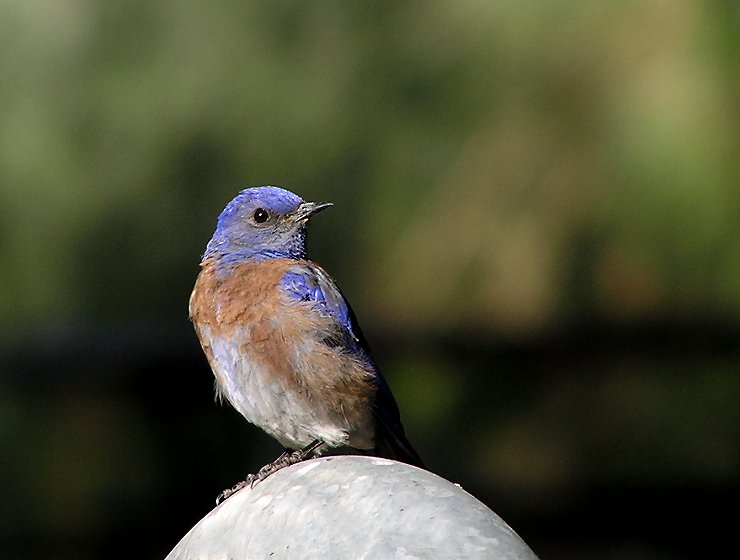 western blue male 3.jpg