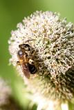 eryngium agavifolium white and bee