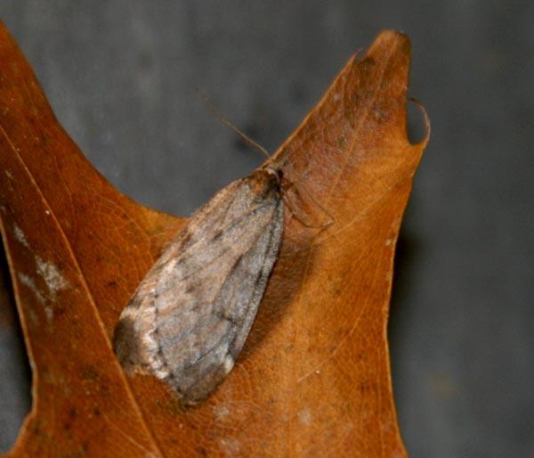 fall-cankerworm-moth-d1069.jpg