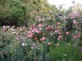 Gertrude Jekyll Rose (Pink)