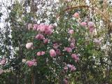 Lavender Lassie Climbing Rose