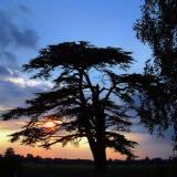 Cedar silhouette, Martock (1601)