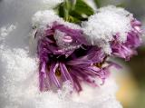 snowy blooms