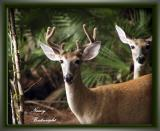 Our Backyard Deer
