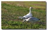 Oies blanches / White Geese