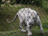 Namaste the White Tiger at Panaewa Zoo