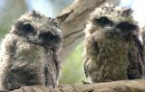 Young tawnie frogmouths