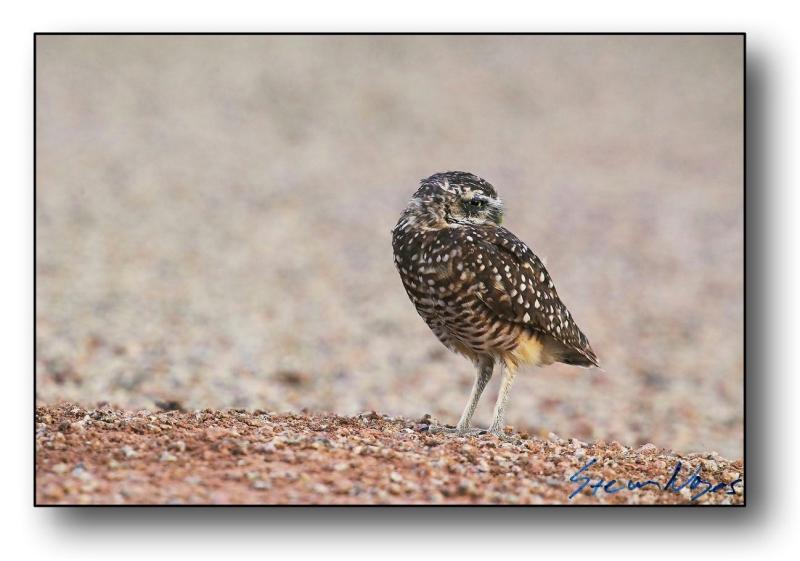 Burrowing Owl : Week 6
