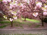 Cherry Blossoms in Brooklyn
