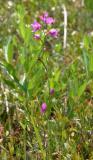 Grass Pink - Calopogon tuberosus