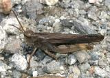 male Northern Green-striped Grasshopper - Chortophaga viridifasciata