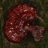 Ganoderma tsugae