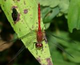 Ruby Meadowhawk - Sympetrum rubicundulum (male)