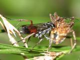 Calicurgus hyalinatus
