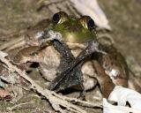 Bullfrog (Lithobates catesbeianus) eating a bat