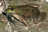 Bullfrog - Lithobates catesbeianus (with a full belly, and bat wings hanging out it's mouth)
