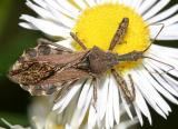 Spined assassin bug - Sinea diadema