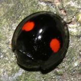 Lady Beetles - Genus Chilocorus