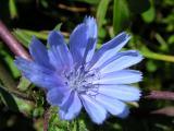 Chicória (Cichorium intybus)