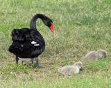 bl swan and signets
